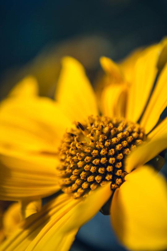 yellow girassol_Breno Machado